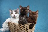 Dramatails kittens (Selkirk Rex)