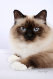 Kissyfurs Its My Party Paws (Birman)