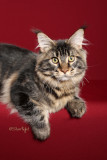 Indrasnet Samwise Gamgee (Maine Coon)