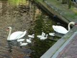 Swans in Volendam