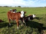 Calves Waterland