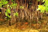 Mangroves, Biscayne National Park, Florida