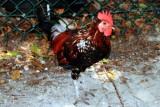 Chicken, Key West