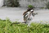 Bird ready for action, Bahia Honda State Park, Bahia Honda Key, Florida Keys