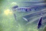 Fish, National Key Deer Refuge, Big Pine Key, Florida Keys