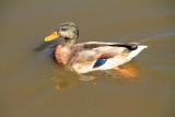 Duck, Sunset Lakes Resort, Joslin, IL