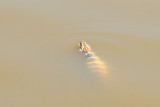 Water Snake, Sunset Lakes Resort, Joslin, IL