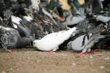 Pigeons, Logan Square, Chicago