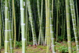 Bamboo, Tenryū-ji, Arashiyama, Kyoto, Japan