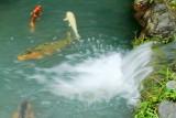 Waterfalls, fish, Tenryū-ji, Arashiyama, Kyoto, Japan