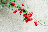 Berries, Telfair Square