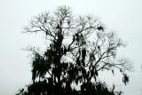 Spanish Moss on an Oak tree
