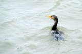 Duck on the Savannah river