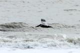 Pelican, Coligny beach, Atlantic Ocean