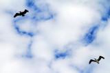 Pelicans, Coligny beach, Atlantic Ocean