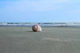 Shell, conch, Coligny beach, Atlantic Ocean