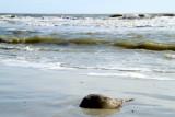 Sting Ray, Coligny beach, Atlantic Ocean