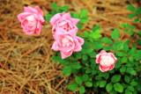 Roses, Shipyard Plantation