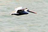 Pelican, Harbour Town