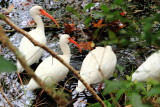 Cranes, Sea Pines Forest Preserve
