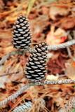 Pine cone, Sea Pines Forest Preserve