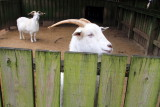 Cashmere goat, Middelton Place