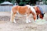 Horses, Middelton Place