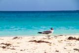 Sea gull, Playa Flamenco, Culebra, Puerto Rico