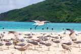 Sea gulls, Playa Flamenco, Culebra, Puerto Rico