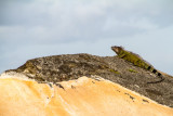 Iguana, San Felipe El Morro Castle, Viejo San Juan
