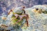 Crabs, Old San Juan