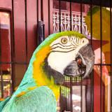 Parrots, Old San Juan