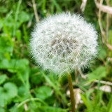 Dandelion, Flower, macro, Barrington Park, Illinois