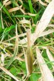 Phasmatodea, stick insect, Barrington Park, Illinois