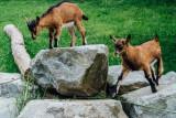 Goats, Open-air Museum, Gutach, Black Forest, Germany