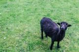 Goat, Gastatte Schneckenmatt, Gengenbach, Black Forest, Germany