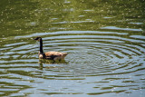 Duck on the Pegnitz, Nuremberg, Bavaria, Germany