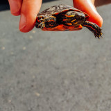 Snapping Turtle baby, Summer 2015