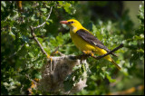 Male Golden Oriole at nest (Sommargylling)