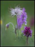 Small Pasque flowe and Orchids (Fältsippa, Adam & Eva samt ST Pers Nyckel) - Öland