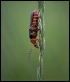 World is upside down... Soldier Beetle ( Flugbagge) - Länsås