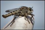 Fly with small mite (Fluga med kvalster) - Öland