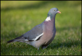 Common Wood Pigeon (Ringduva) in my garden