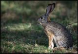 Scrub Hare - Naivasha