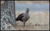 Hadada Ibis - allways present och noisy....