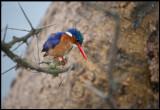 Malchite Kingfisher - Naivasha
