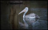 Pink-backed Pelican - Naivasha