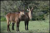 Waterbucks - Naivasha