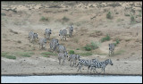 Zebras coming down to drink