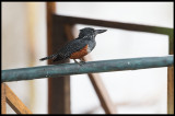 Giant Kingfisher at the balcony !